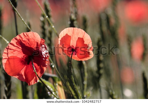 Poppy flowers in spring