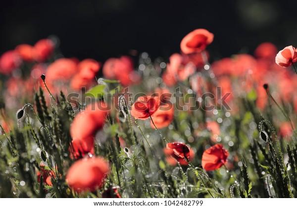 Poppy flowers in spring