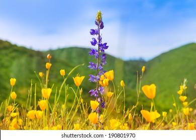 Poppy flowers yellow poppies in western California fields USA