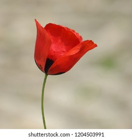 Poppies flowers images stock photos vectors shutterstock poppy noble flower mightylinksfo