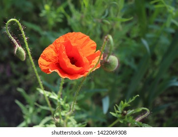 Poppy on a beautiful green background. Other names are Papaver rhoeas, common poppy, corn poppy, corn rose. This poppy is notable as an agricultural weed.