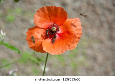Poppy on beige background with 2 feeding insects and two flying insects