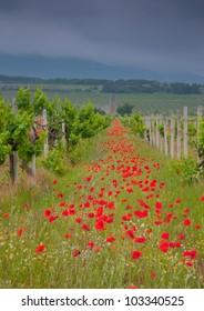 Poppy on grape field in Crimea, Ukraine