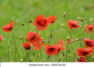 Poppy on a meadow