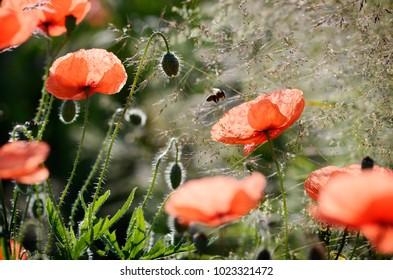 poppy on the meadow in summer
