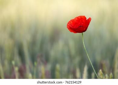 Poppy on a summer meadow