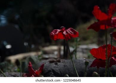 poppy on world war one battlefield france