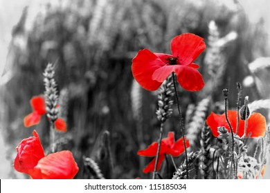 Poppy - Red Poppy Flower - symbol of war - for  Remembrance Day / Sunday.