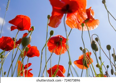 poppy red flowers and blue sky as background