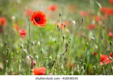 poppy in a rural meadow