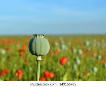 Poppy seed capsule in field