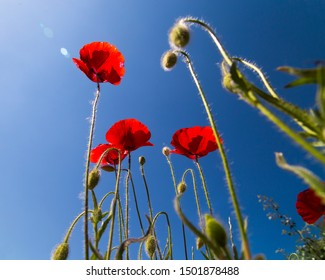 poppy seed flowers and buds against a blue sky