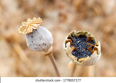 Poppy seeds inside the flowering plant in a crop, detail with unfocused background.