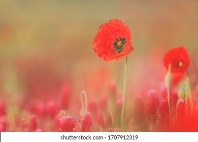 Poppy standing tall among poppies and crimson clovers against a blurred background
