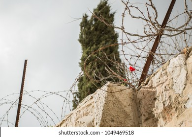 poppy surrounded by barbed wire in Jerusalem, Israel