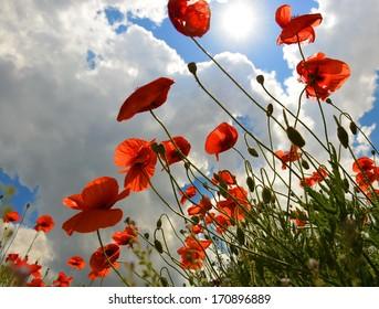 poppy, wild flowers