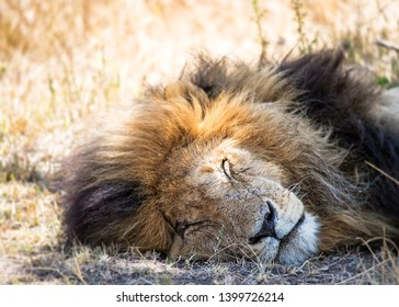 Popular African male lion named Scar lying down in the grass of the Masai Mara in Kenya, Africa