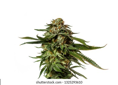 Popular cannabis strain known as Gorilla Glue number four isolated on a white background