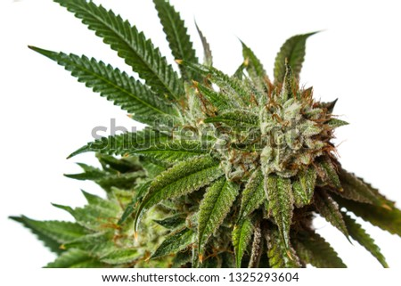 Popular Cannabis Strain Known Gorilla Glue Stock Photo (Edit Now