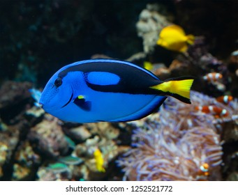 A popular coral reef fish in marine aquaria with common names, regal blue tang, palette surgeonfish, or hippo tang, an Indo-Pacific surgeonfish of Paracanthurus hepatus species with bright blue color