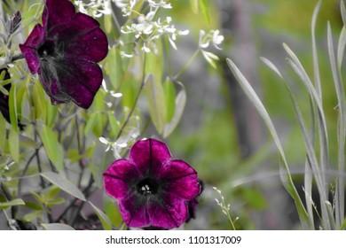 Popular flowering dark petunias usually grown in planters