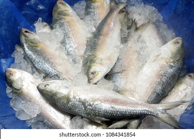 A popular food fish in South Asia. Tenualosa ilisha (ilish, hilsa, hilsa herring/ hilsa shad). Bangladesh's national fish. Many people involved in fish export import, fishing business