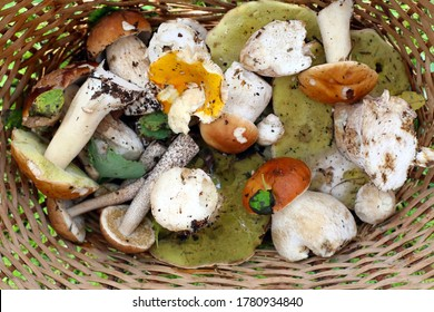 Popular white Boletus Cep Mushrooms set. Basket with porcini mushrooms on the background of a green grass outdoors. Rustic style. Cooking delicious organic mushroom. Forest searching. Summer harvest.