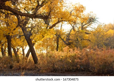 populous forest in autumn, Inner-Mongolia, China