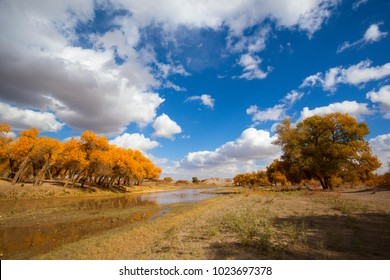 Populus in the autumn. Taken on the Populus euphratica scenic area in Ejina, Inner Mongolia, China.