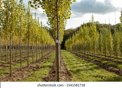 Populus nigra-Italica, view on tree nursery