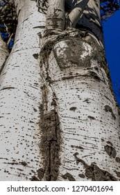 Populus tremula commonly called aspen tree, European aspen or quaking aspen tree