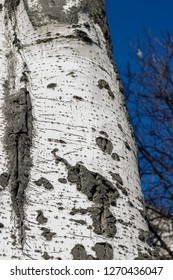 Populus tremula commonly called aspen tree, European aspen or quaking aspen tree
