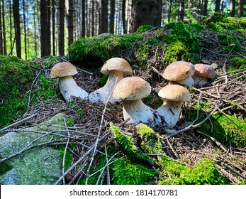 Porcini Mushroom In Forest, close up of edible mushroom
