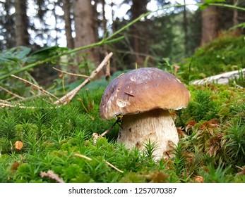 Porcino mushroom in bavarian alps germany