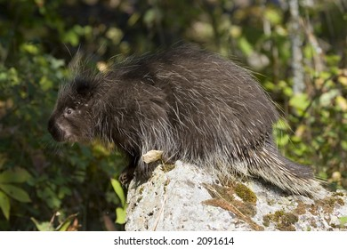 A porcuoine on an old tree stump in the forest