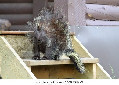 Porcupine in a campground shelter, Yukon, Canada