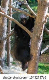 A porcupine climbing a tree in Canada, funny animal