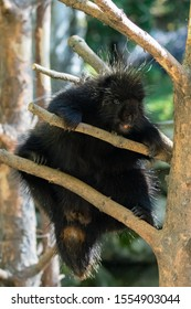 porcupine climbing a tree in Canada, funny animal