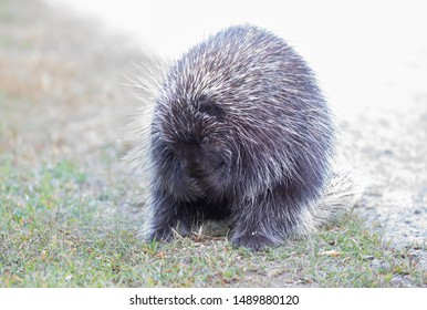 Porcupine eating along the trail in summer in Canada