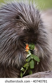 Porcupine eating berries.