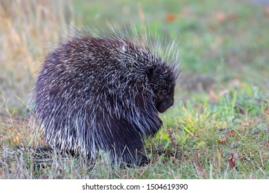 Porcupine eating in the summer meadow in Canada