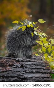 Porcupine (Erethizon dorsatum) Branch Overhead Munching Autumn - captive animal