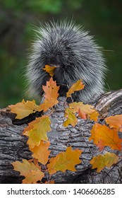 Porcupine (Erethizon dorsatum) Leaf in Mouth Chewing Autumn - captive animal