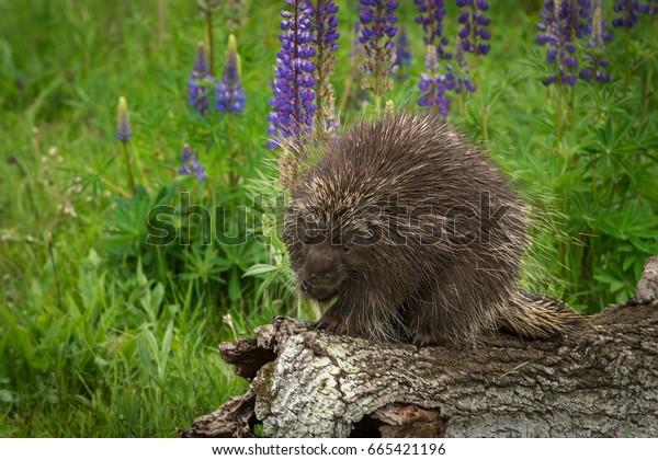 Porcupine (Erethizon dorsatum) Paw to Mouth - captive animal