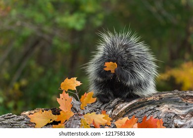 Porcupine (Erethizon dorsatum) Sits on Log With Leaf - captive animal