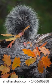 Porcupine (Erethizon dorsatum) Sits on Log Munching Leaves Autumn - captive animal