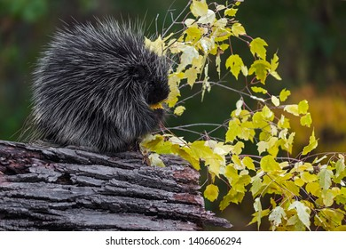 Porcupine (Erethizon dorsatum) Sits in Profile Eating Leaves Autumn - captive animal