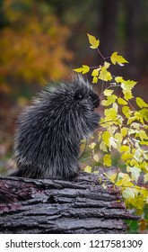 Porcupine (Erethizon dorsatum) Stands With Leafy Branch - captive animal
