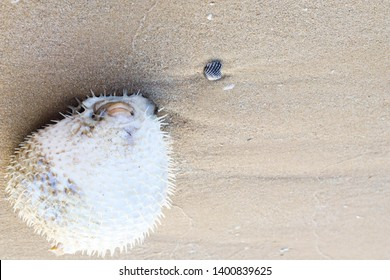 porcupine fish or blowfish on the beach.