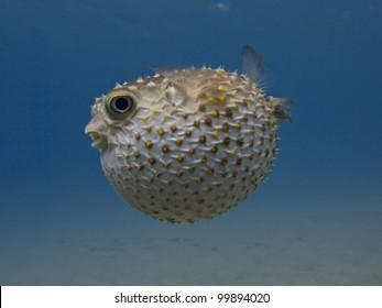 Porcupine fish blown up